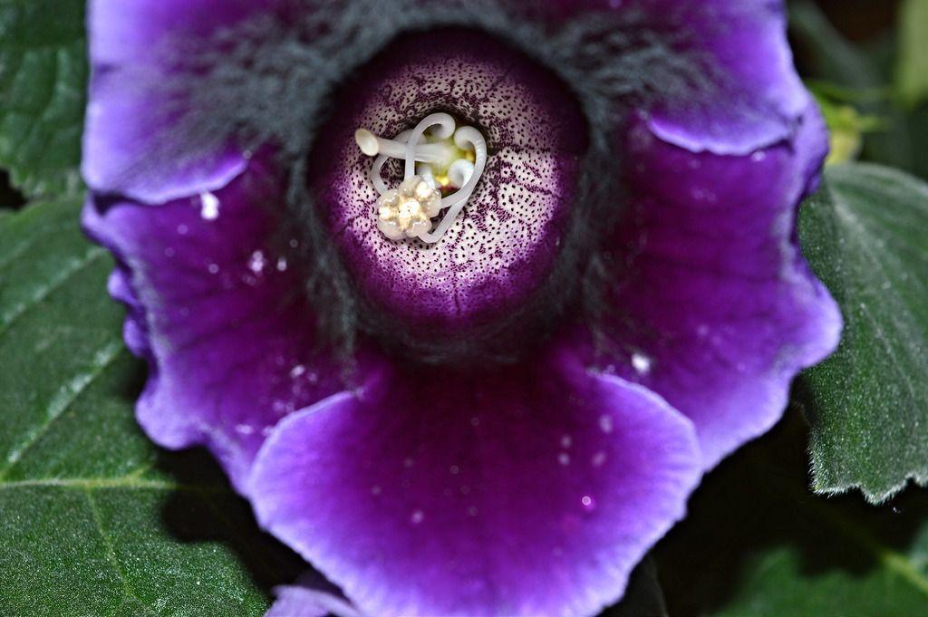 Популярные комнатные растения - цветок глоксиния