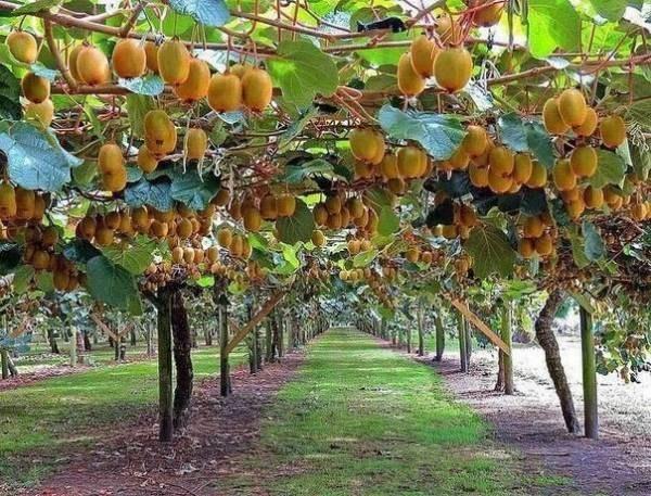 Плоды киви, растущие на лианах в Новой Зеландии