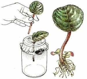 цветок глоксиния размножение