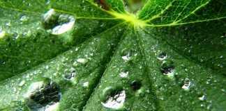 Отвар из корня лопуха большого. Советы по здоровью
